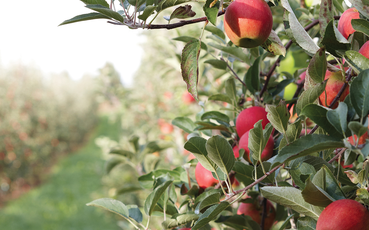 Beautiful apple orchard for Jazz Apples